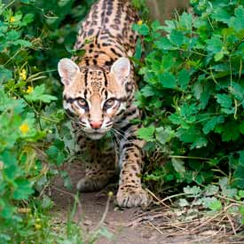 Ocelot photo: Click to open hidden gallery